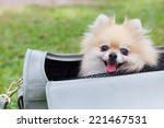 Stock photo cute dog sitting in woman bag 221467531