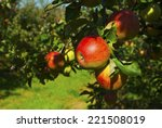 apple trees in a row  before... | Shutterstock . vector #221508019