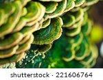 Mushrooms Growing On Pine Stump ...