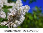 white lilac branch in spring   | Shutterstock . vector #221699317