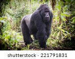 A Male Silverback Mountain...