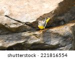 Grey Wagtail On The Rock.