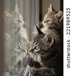Stock photo two tabby kittens are reflected to play in a window pane 221989525