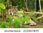 lynx | Shutterstock . vector #222007855