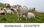 white and brown cow in the... | Shutterstock . vector #222107875
