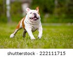 Stock photo funny running english bulldog 222111715