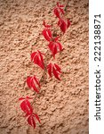 Hanging shoot of a red climbing plant on a plaster wall  - stock photo