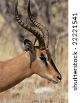 Small photo of Black-faced Impala (Aepyceros melampus petersi) in the Etosha National Park, Namibia
