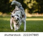 Stock photo siberian husky siberian husky puppy playing with mom 222247885