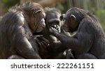 Chimpanzees Talk It Over In...