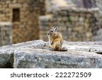 Small photo of Viscacha, a rodent related to the chinchilla sitting on ruins at the ancient Incan city of Machu Picchu, Peru