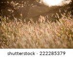 sunset on reeds | Shutterstock . vector #222285379