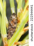 Small photo of Spittlebug, Aphrophora corticea on fir