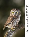 Small photo of Saw-whet (Aegolius acadicus) Owl posing on a branch