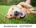 Stock photo yellow lab rolls over outside 222732547