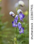 Small photo of Blossoms of aconite (Aconitum variegatum).