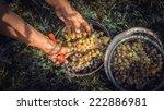 Grape Harvesting In A Vineyard...