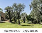 Small photo of Olive grove, which painted Renoir. Renoir Museum. Cagnes-sur-Mer - commune of Alpes-Maritimes department in Provence Alpes - Cote d'Azur region, France. Cagnes-sur-Mer located between Nice and Cannes.