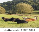 multi coloured young bullocks... | Shutterstock . vector #223014841