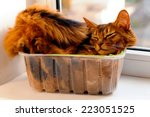 somali cat lie inside... | Shutterstock . vector #223051525