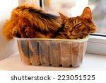 Somali Cat Lie Inside...