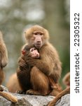mother and baby baboon | Shutterstock . vector #22305322