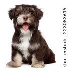 Stock photo funny laughing chocolate colored havanese puppy dog is sitting isolated on white background 223083619