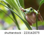 Australian Green Tree Frog On ...