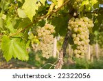 bunch of ripe grapes on... | Shutterstock . vector #22322056