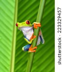 Red Eyed Tree Frog Or Gaudy...