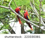 pair of wild scarlet macaws on... | Shutterstock . vector #223330381