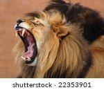 Male African Lion  Panthera Leo ...