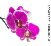 Small photo of Blooming violet orchid with bandlet is isolated on white background, closeup