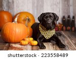 Black Labrador Retriever In A...