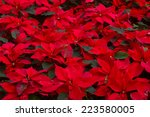 Garden With Red Poinsettia...