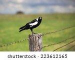 Australian Magpie   Gymnorhina...