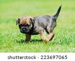 Cute Little Border Terrier...