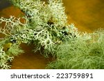 Cyan Lichen On A Tree Branch