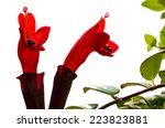 Small photo of Red Lipstick Flower. Lipstick Plant (Aeschynanthus radicans jack) isolated on white