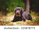 Beautiful Young Labrador...