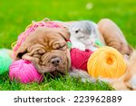 Stock photo bordeaux puppy dog and newborn kitten sleeping on the colored tangles on green grass 223962889