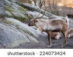 Reindeer Portrait In Winter...