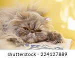 Young Tortie Persian Lying On...