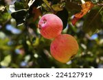 Two Pink Striped Apples Hangin...