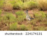 A Greater Roadrunner  Geococcy...