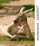 Lazy Kangaroo With Human Posture