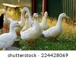 Group Of Geese In The Barnyard
