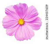 Stock vector pink daisy flower isolated on white background vector illustration 224437609