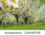 cherry orchard at full bloom | Shutterstock . vector #224439709