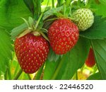ripening strawberry fruits on... | Shutterstock . vector #22446520